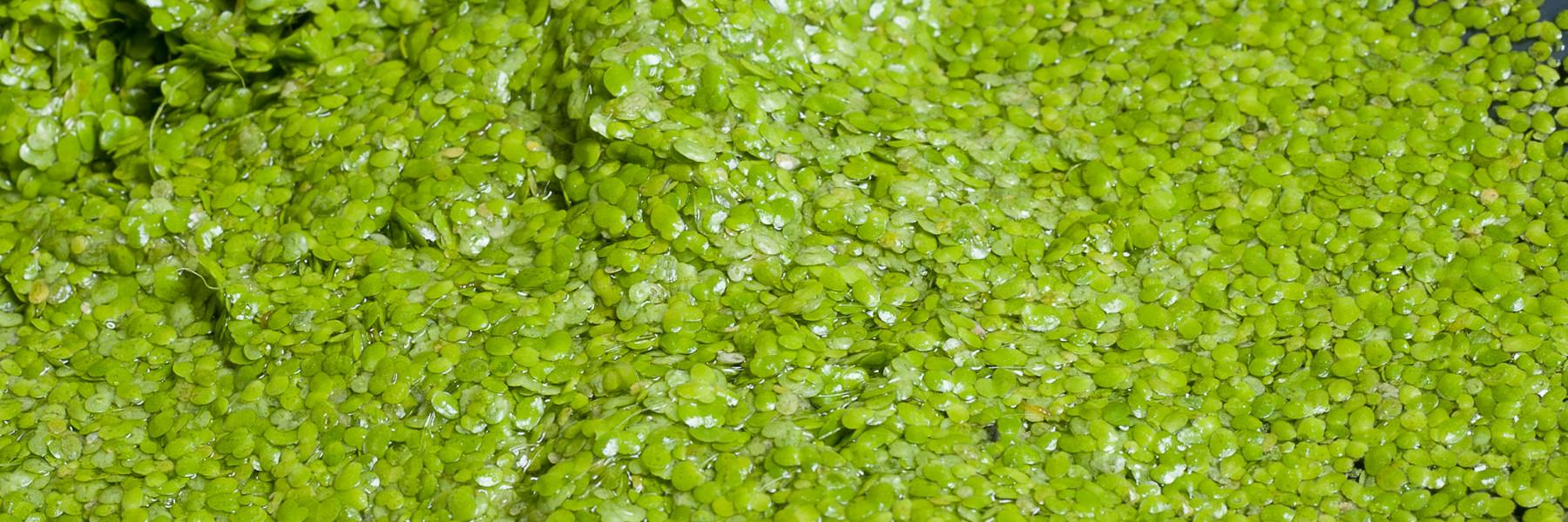 greenhouse protein; resultaten waterlinzen-onderzoek